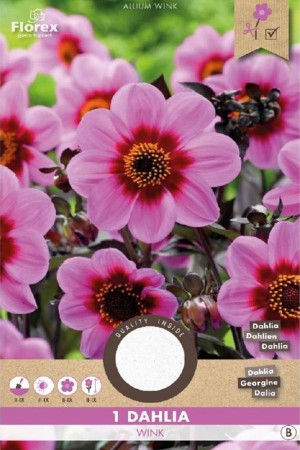 Dahlia Happy Single Wink...