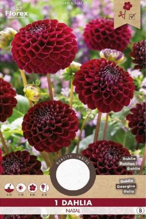 Dahlia Natal red - Pompon