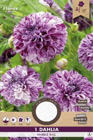Dahlia Marble Ball purple...
