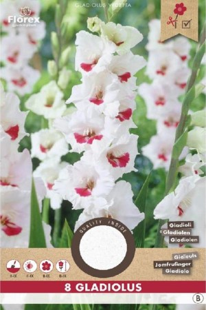 Gladiolus Candy Bar white -...