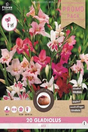 Gladiolus small flowering...