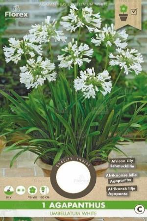 Agapanthus Witte Afrikaanse...
