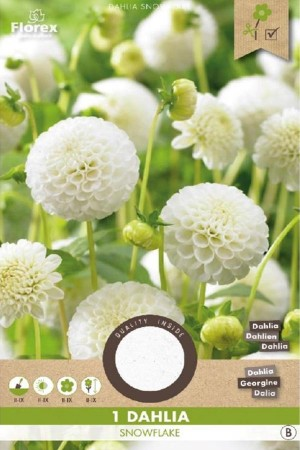 Dahlia Snowflake white -...