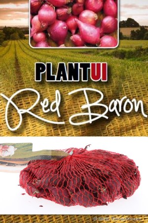 Red Baron red onion sets 250g
