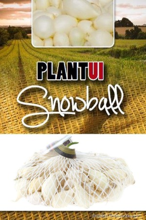 Snowball white onion sets 250g