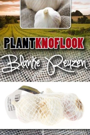 Garlic sets Blanke Reuzen 5...