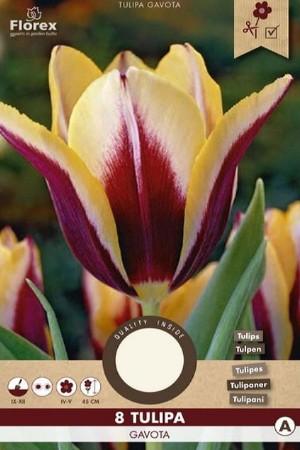Tulips Gavota -...