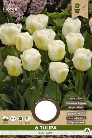 Tulips Calgary - White...