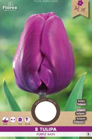 Tulips Purple Rain - Purple...