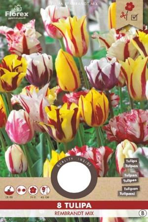 Tulips Rembrandt - Flamed...