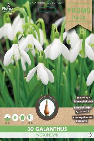 Snowdrops 30 bulbs -...