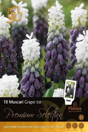 Muscari Grape Ice - 10 bulbs