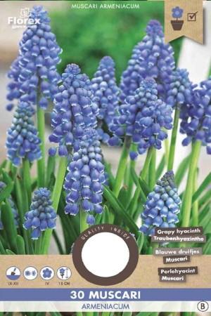 Blauwe Druifjes - Muscari...