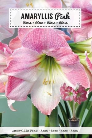 Amaryllis Pink -...