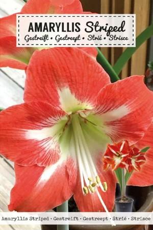 Amaryllis Red-White -...