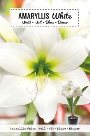 Amaryllis White -...