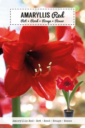Amaryllis Red - Hippeastrum...