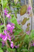 Honesty - Lunaria seeds