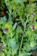 Kiwi Blue Honeywort - Cerinthe seeds