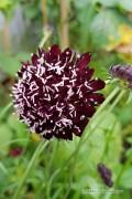 Black Knight - Scabiosa seeds