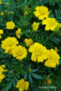 Petite Yellow French Marigold Tagetes seeds