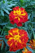 Carmen French Marigold Tagetes seeds