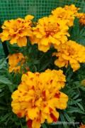 Bolero French Marigold Tagetes seeds