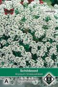 Sneeuwkleed - Alyssum