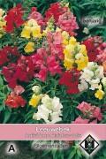 Rainbow - Antirrhinum