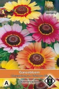 Rainbow Painted Daisy Chrysanthemum seeds