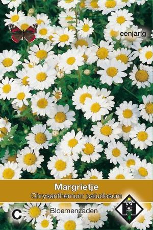 Daisy (Chrysanthemum) Paludosum