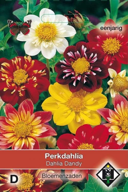 Dandy Dahlia seeds