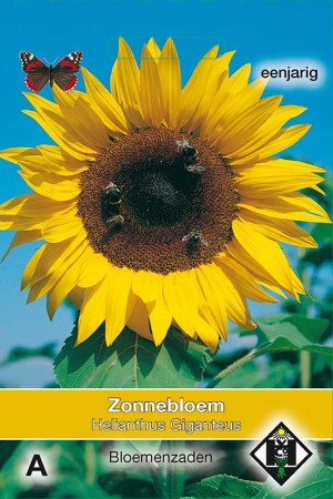 Sunflower (Helianthus) Giganteus