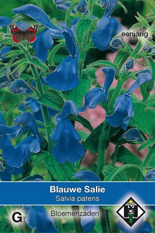 Bright blue Salvia patens seeds