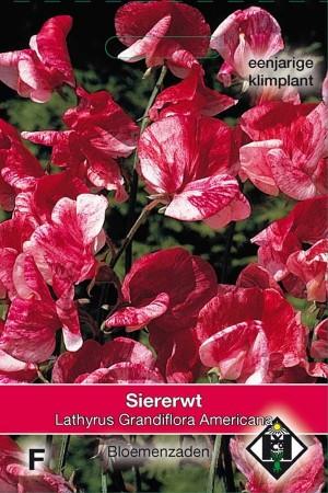 Reuk- of siererwt (Lathyrus) Americana