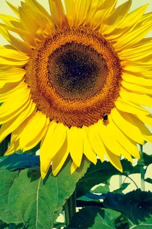 Sunflower (Helianthus) Giant Sunflower
