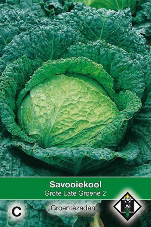 Grote Late Groene 2 - Savooiekool