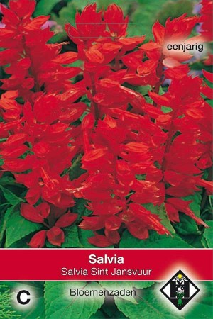 Salvia Splendens St Johns Fire - Salvia splendens