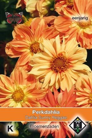 Dahlia Sunny Reggae - Perkdahlia