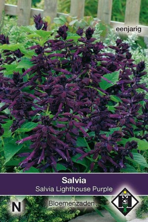 Salvia Splendens Lighthouse Purple