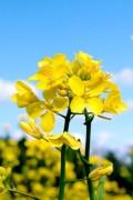 Yellow Mustard seeds 140m2 green manure