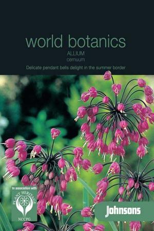 Allium Pink Giant