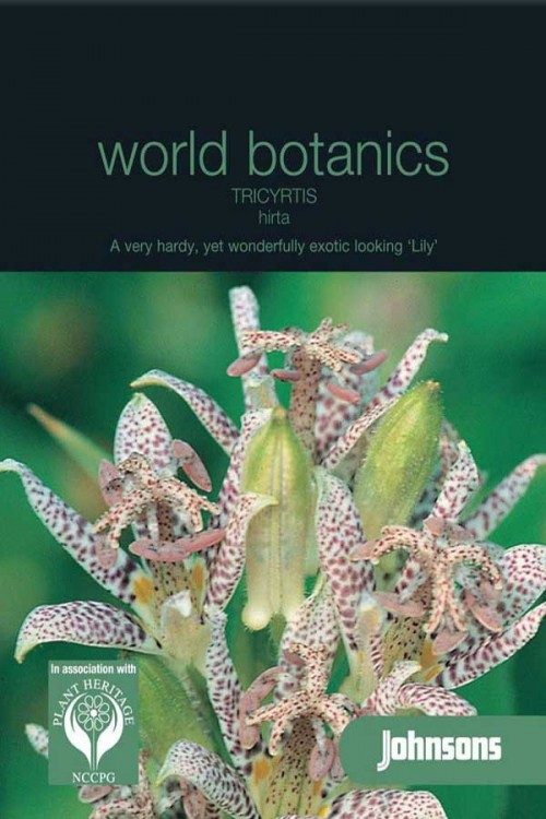 Tricyrtis Hirta - Toad Lily seeds