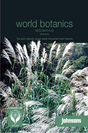 Ornamental grass Miscanthus Sinensis