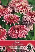 Mazurkia - Zinnia