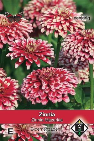 Zinnia Mazurkia