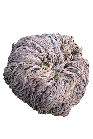 Rose of Jericho XL