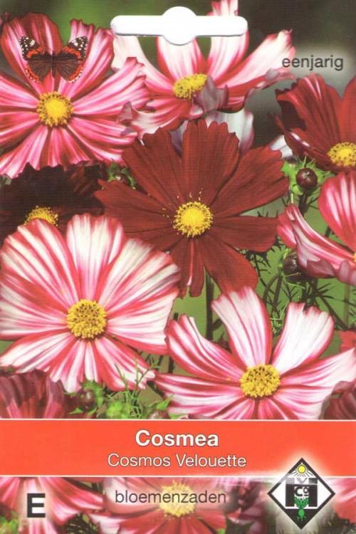 Cosmos (Cosmea) Velouette