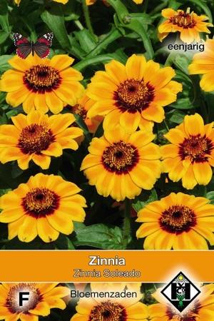 Zinnia Soleado - Zinnia haageana