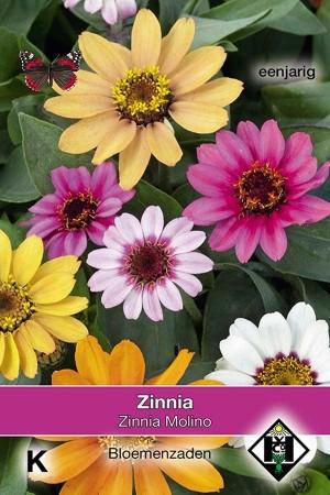 Zinnia Molino - Zinnia hybrida